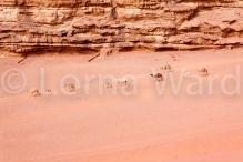 A camel caravan heading to water